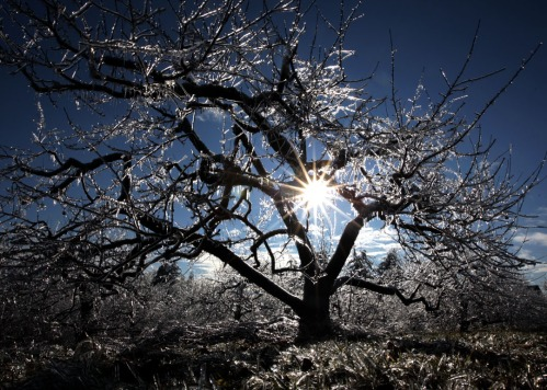 icytree