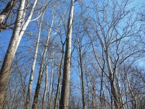 sycamore grove